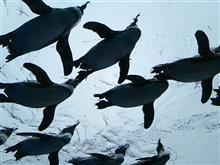 ペンギンとタチウオ