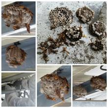 雨のアシナガバチ大量虐殺劇。