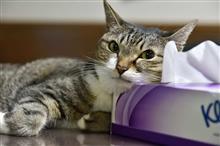 ネコの枕はティッシュの箱