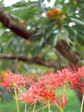 彼岸花の季節です^^