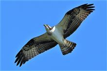 地元多摩川ミサゴ パート5とS山湖の野鳥達