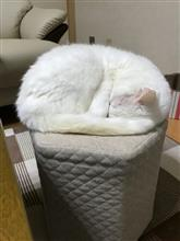 白猫 ハル お久しぶりに!