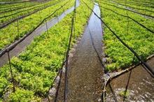 日本の農業が一流であることを示す、美しく清らかなワサビ農場=中国メディア