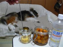 金柑酒その後(リプライズ)