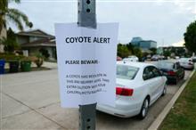 ロスのこの近辺でもコヨーテ見たって