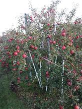 11月伊那ミーティングは林檎狩りです