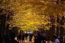 昭和記念公園、黄葉紅葉まつりと原種シクラメン