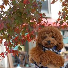 箕面の紅葉の色づき始めを見てきました♪