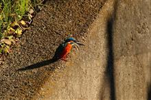 鳥撮り散歩(2017年11月26日)N川近況