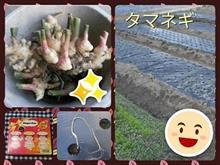 タマネギ植え&ショウガ収穫