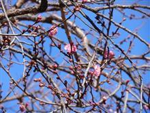 ♪梅は~咲いたか