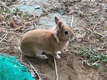 野良ウサギをみたww