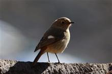 鳥撮り散歩(2018年2月12日)ジョウビタキ♀