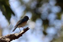 鳥撮り散歩(2018年2月17日)ルリビタキと梅など・・・