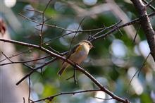 鳥撮り散歩(2018年2月25日)梅とルリビタキなど