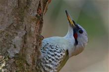 鳥撮り散歩(2018年2月25日)アオゲラ