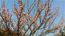 浜名湖ガーデンパークの梅