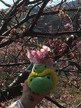 河津桜 6分咲き?