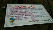 九十九里で河津桜