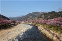 河津桜を見てきました♪