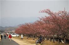 早咲き桜 ~伊豆の国市~