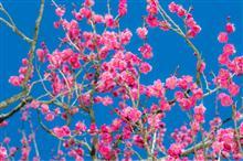 梅を撮りました^_^