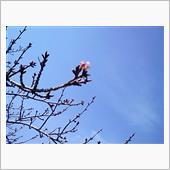まだまだ咲いてない。
