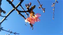 サクラ咲く!春がキタ━━ヾ(≧∀≦)ノ━━!!