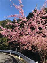 近所の河津桜を見に