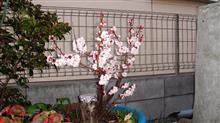 ピンクの梅の花満開