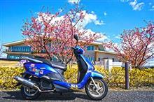 河津桜とシチュー