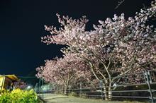 3月3日 河津桜を見に行く