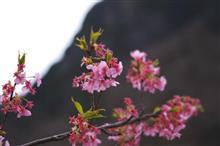 春を求めて ~伊豆桜リベンジ!~
