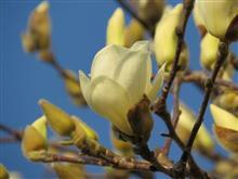 白木蓮どんどん咲きます♪