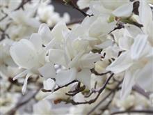 白木蓮ジャンジャン・バリバリ咲いてます♪