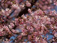 春の静岡部活【メジロと河津桜ツーリング編】