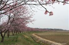 安行寒桜見てきました