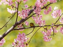 カメラ散歩【満開の河津桜とメジロ編】