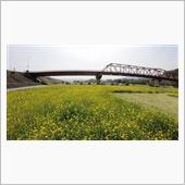畑の前橋下河川敷広場の菜の花畑