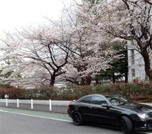 桜と一緒に記念撮影~ 花粉症が最悪デス(*^^)v