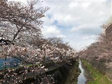桜はまだ三分咲でした。