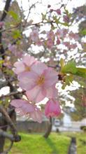 桜前線到着~🌸