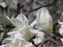 白木蓮 開花のピークからチルチルミチル