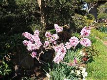 今日の桜とチューリップ♪