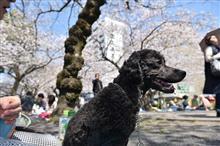 愛車で桜の花見へ♪