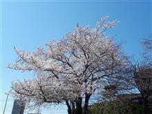 ご近所の桜🌸