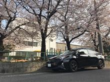 桜とプリウス