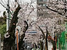 世田谷区深沢の桜