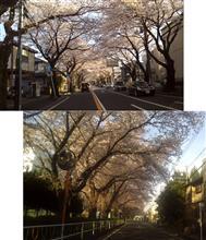 満開 相模原は桜が満開に。