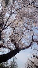 お散歩 文理台公園 桜